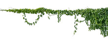 Plant Vine Green Ivy Leaves Tr...