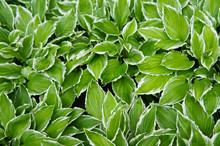 Hosta Francee Green Leaves Wit...