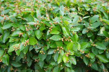 Cotoneaster Lucidus Or Shiny Cotoneaster Green Shrub Background