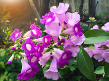 Fresh Purple Mansoa Alliacea B...