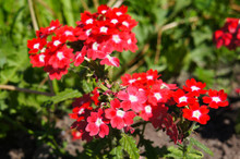 Verbena Hybrida Quartz Red Eye Flowers