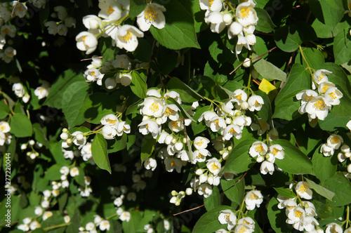 Fototapeta Philadelphus lemoinei green shrub with white flowers background obraz