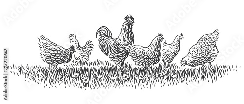 Rooster and hens on grass illustration. Vector. Fototapet