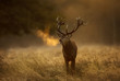 Leinwandbild Motiv Red Deer stag during rutting season with breath condensing at dawn
