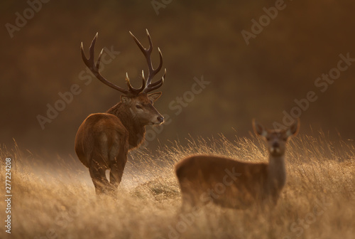 Red deer stag with a hind in during rutting season