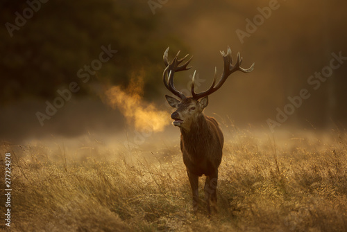 Red Deer stag during rutting season with breath condensing at dawn - 277224278