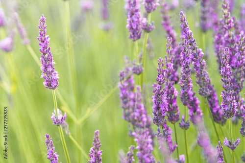 Stickers pour porte Fleur close up of lavender field blooming