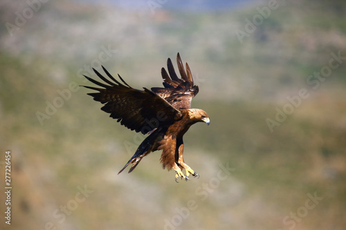Garden Poster Eagle The golden eagle (Aquila chrysaetos) flying over the rock. Male golden eagle flying in the Spanish mountains.