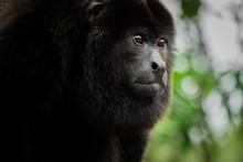 Monkey Portrait. Costa Rica Wildlife: Male Howler Monkey Closeup Giving A Penetrating Look. Photo Taken At Selva Verde, Sarapiqui, Braulio Carrillo National Park, Costa Rica. Gaze / Stare Concept.