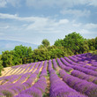 canvas print picture - French blooming lavender field