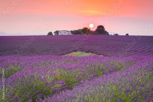 Fototapeta colorful fields of lavender at valensole plateau, France obraz na płótnie
