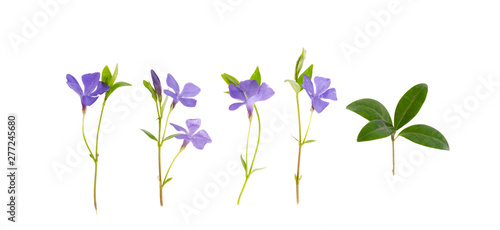 Fotomural Blue flowers and leaves of vinca isolated on white background