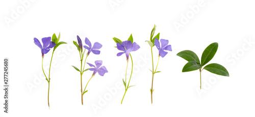 Fototapeta Blue flowers and leaves of vinca isolated on white background
