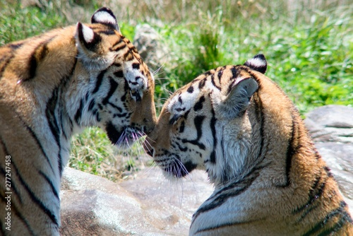 Fotografie, Obraz  The Indian Tiger (Panthera tigris tigris), also called the Bengal Tiger, is the most numerous tiger subspecies