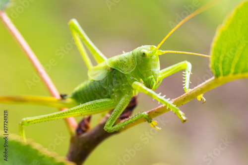 Fototapeta Green grasshopper sitting on tree in the garden
