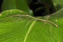 Giant Tropical Walking Stick O...