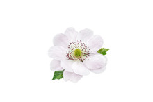 Blackberry Flower And Leaves Isolated On White