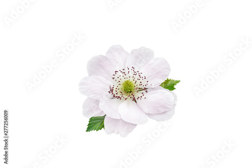 Photo sur Aluminium Fleuriste Blackberry flower and leaves isolated on white