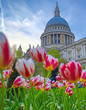 St. Paul's Cathedral in Central London, England, UK surrounded by tulips.