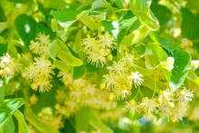 Flowers Of Blossom Linden Tree, Apothecary, Natural Medicine, Healing Herbal Tea