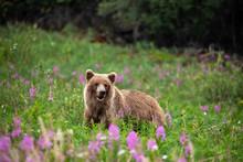 Wilder Grizzlybär In Kanada