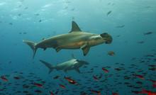 Galapagos Hammerhead Sharks