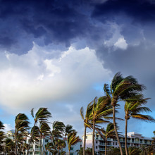 Group Of Tall Palm Trees Waving In Wind And Residential Buildings Over Stormy Sky In Deerfield Beach Florida