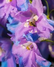 This Close Up, Detailed Macro Image Capture Features Blooming Lavender Purple And Blue Delphinium Elatum, Pacific Giant Larkspur Flowers.