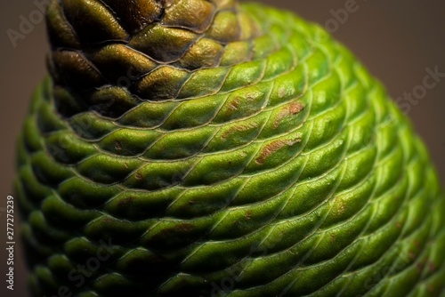 This close up, detailed macro image shows a green textured seed from a brachychiton acerifolius flame tree.