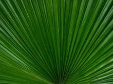 Beautiful Fresh Green Palm Lea...