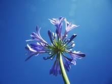Agapanthus Flower On Background Of Blue Sky