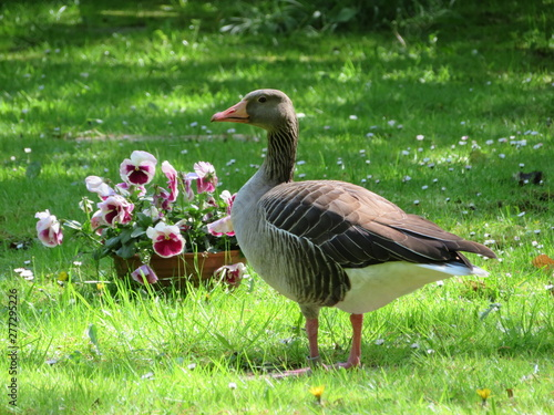 goose on green grass with flowers in background Canvas Print
