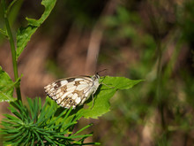 Marbled White Butterfly Baskin...