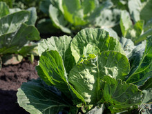 Organic Cabbage Grow In The Vegetable Garden.