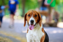 The Dog Breed American Foxhound