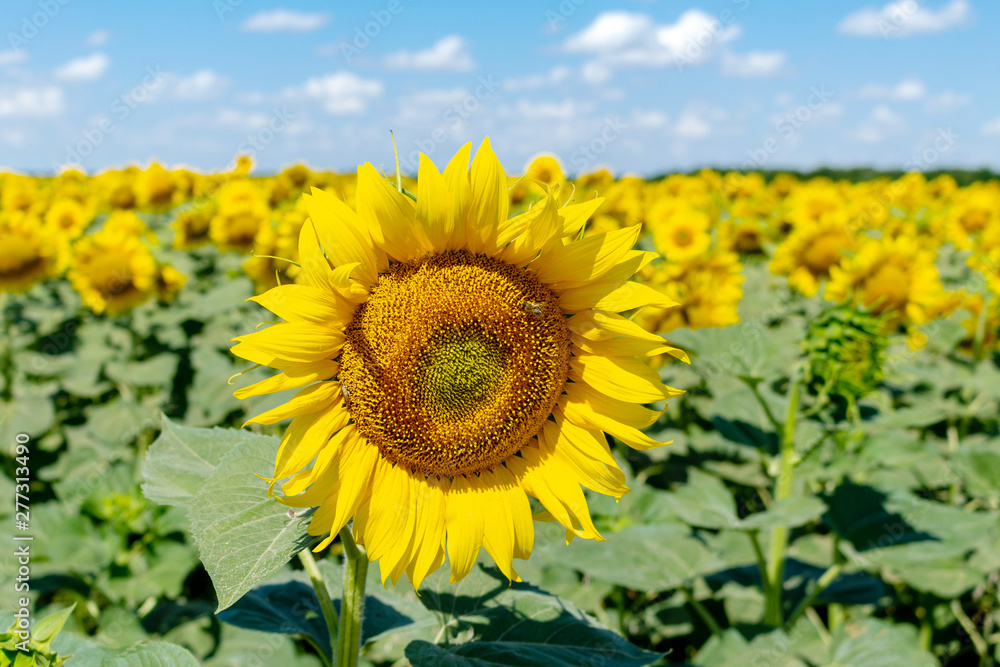 Fototapety, obrazy: Sunflowers on the blue sky background agriculture farming rural economy agronomy concept