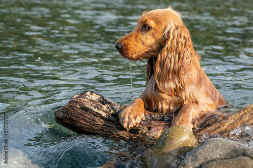 Photo Stands Akt happy puppy dog cocker spaniel in the river