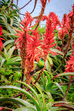 Aloe Ferox Flowers With Sunbirds Feeding On The Flowers,  Cape Point, Cape Town, South Africa