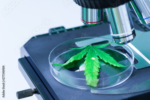 Fotografia  Cannabis (Marijuana) with microscope in laboratory research.