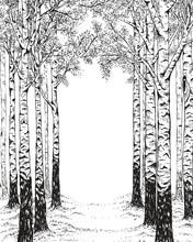 Birch Forest, Hand Drawn Illus...