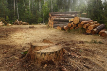 Cut Down Trees In The Forest. A Huge Stump From Pine And Felled Trees In The Background.