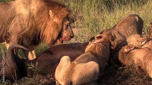 саванна львы охота видео бутылке пива, стали