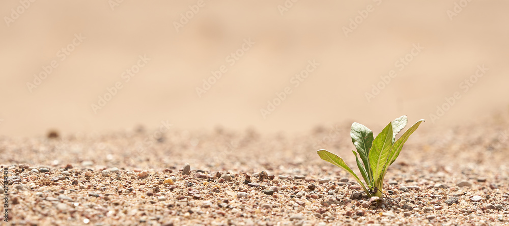 Fototapety, obrazy: Plant in the sand in the desert. The concept of survival. Photo with copy space.