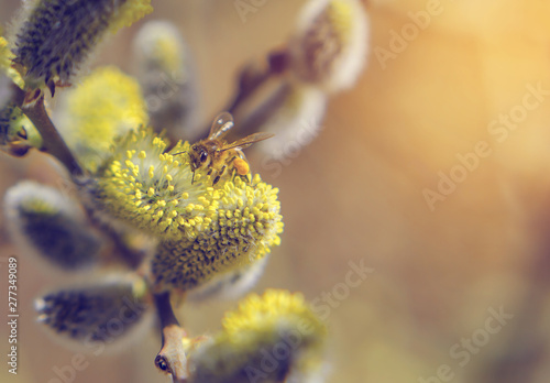 Bee collects pollen on spring willow flowers Wallpaper Mural