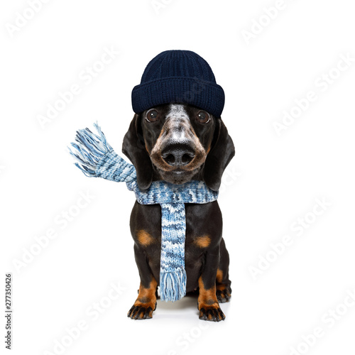 Cadres-photo bureau Chien de Crazy freezing dog with wool scarf and cap
