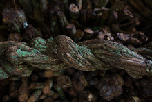 Close-up Of Ayahuasca. Ready To Cook Liana. Banisteriopsis Caapi Vine. Tradtional Plant Medicine. Liana Of The Soul, Liana Of The Dead, Spirit Liana. Woody Vine. Shamans And Ceremonies In Peru