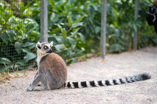 Ring-tailed Lemur Kept In A Zo...