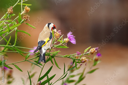 Leinwand Poster Goldfinch (m) feeding on seeds of Brown Knapweed