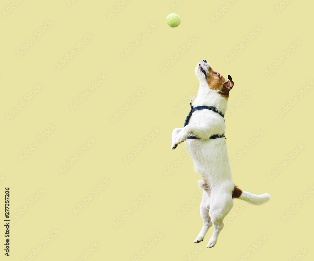 Fototapety, obrazy: Jack Russell Terrier dog jumping straight up against yellow wall to catch tennis ball