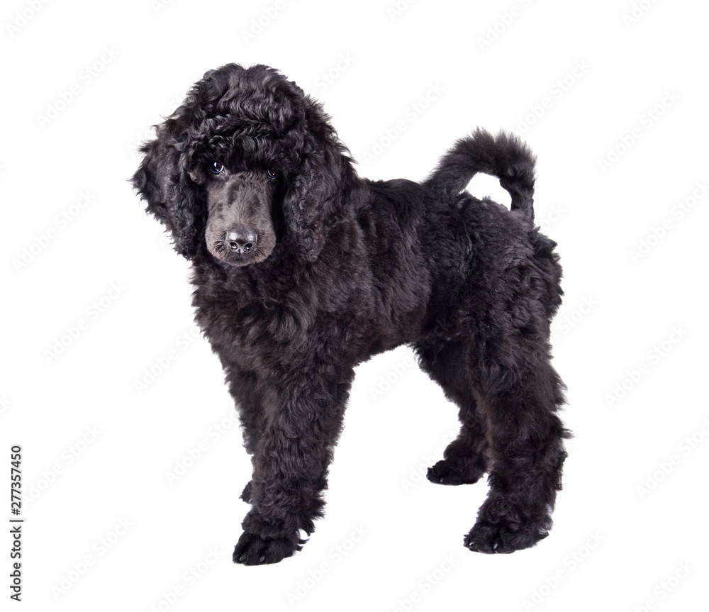 Fototapety, obrazy: Black Poodle puppy